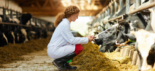 Photo of large-animal vet tending to cows