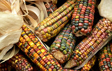 Ears of colorful fall corn