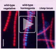 Gliding Motility in Filamentous Cyanobacteria