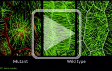 Microtubules in Plant Growth and Morphogenesis