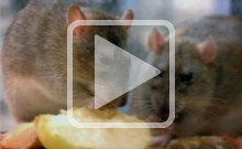 The Special Biology of Rats