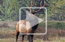 Decorative use: Image from Elk in California Presentation