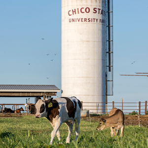 Photo of cows and grain silo at the Chico State Farm