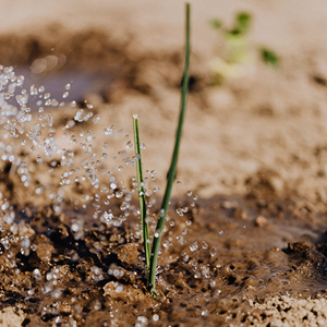 Photo of grass sprout being watered in the soil.