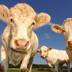 Up-close photo of cows looking into the camera.